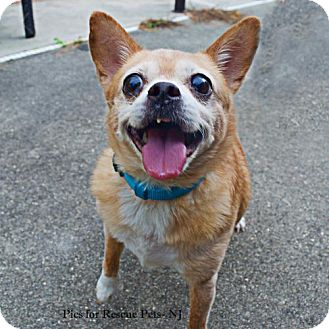 Chihuahua Dog for adoption in Spring Lake, New Jersey - Jay