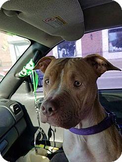 American Pit Bull Terrier Mix Dog for adoption in Warren, Michigan - Nadiya