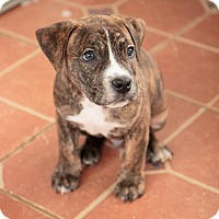 Adopt A Pet :: Poncho - Reisterstown, MD