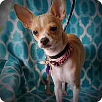 Adopt A Pet :: Honey - Danbury, CT