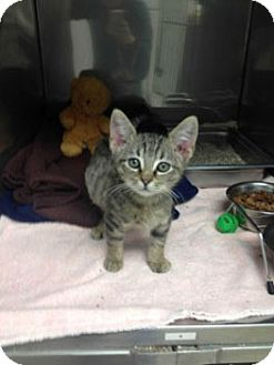 Domestic Shorthair Kitten for adoption in Athens, Georgia - Bussy