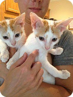 Siamese Kitten for adoption in Alamosa, Colorado - Rico & George