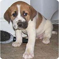Adopt A Pet :: Rosey - Chandler, IN