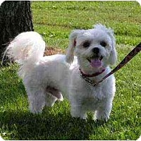 Adopt A Pet :: Boris - Rigaud, QC