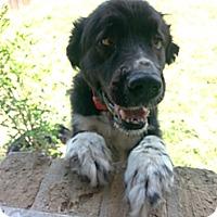 Adopt A Pet :: Socks - Missouri City, TX