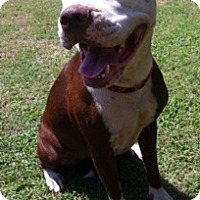 Pit Bull Terrier Mix Dog for adoption in Blanchard, Oklahoma - Sandy