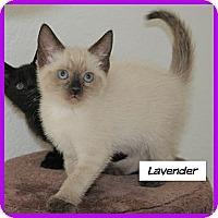 Adopt A Pet :: Lavender - Miami, FL