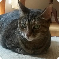 Domestic Shorthair Cat for adoption in Blackstock, Ontario - Shya - Adoption Pending