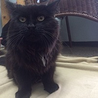Domestic Longhair Cat for adoption in Chicago, Illinois - Thelma