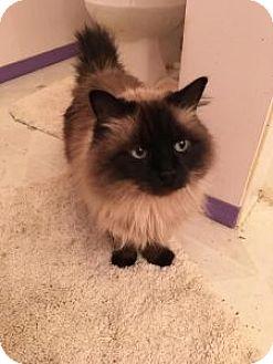 Siamese Cat for adoption in Wasilla, Alaska - Sena