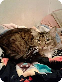 Maine Coon Cat for adoption in Absecon, New Jersey - Sheila Courtesy Post
