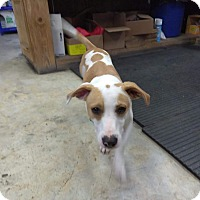 Basset Hound/Jack Russell Terrier Mix Dog for adoption in Glen St Mary, Florida - Joe
