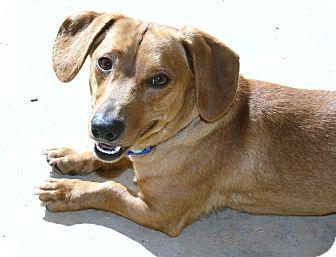 Dachshund Dog for adoption in Bellflower, California - Owen