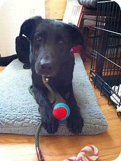 Shepherd (Unknown Type)/Labrador Retriever Mix Dog for adoption in Rockaway, New Jersey - Raven
