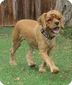 Cocker Spaniel Dog for adoption in Santa Barbara, California - SONIA