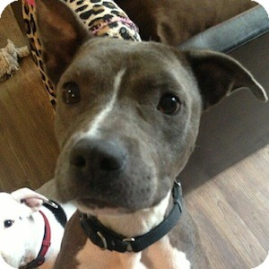 American Staffordshire Terrier Mix Dog for adoption in Gilbert, Arizona - Opal