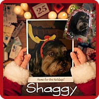 Adopt A Pet :: Shaggy - DOVER, OH