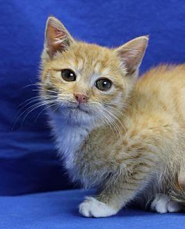 Domestic Shorthair Kitten for adoption in Winston-Salem, North Carolina - Matches