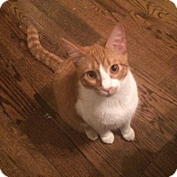 Domestic Shorthair Cat for adoption in Houston, Texas - Jefferson