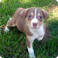 Adopt A Pet :: Butterscotch - Malakoff, TX
