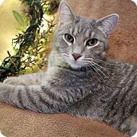 Domestic Shorthair Kitten for adoption in Mackinaw, Illinois - Nickie