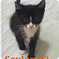 Adopt A Pet :: Saylor - Island Park, NY