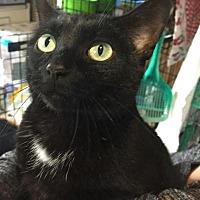 Adopt A Pet :: Mittens - Breinigsville, PA