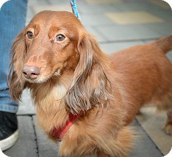 Dachshund Dog for adoption in New York, New York - King