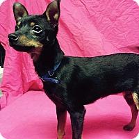 Adopt A Pet :: Iggy - Hamburg, PA