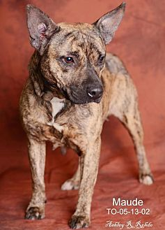 American Staffordshire Terrier Mix Dog for adoption in Marrero, Louisiana - Maude - In Foster Home