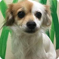 Adopt A Pet :: Fluffy - Brattleboro, VT