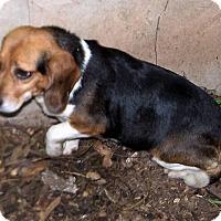 Adopt A Pet :: Pansy - Greensboro, GA