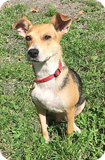 Beagle Mix Dog for adoption in Boca Raton, Florida - Bebe