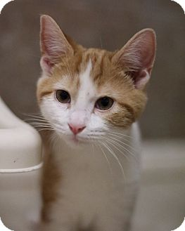 Domestic Mediumhair Cat for adoption in Hartselle, Alabama - Steven