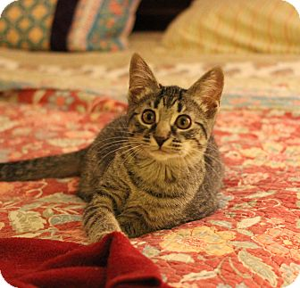 Domestic Shorthair Kitten for adoption in Carlisle, Pennsylvania - Annie