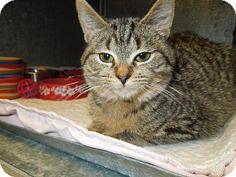 Domestic Shorthair Kitten for adoption in Medina, Ohio - Donny