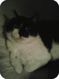 Domestic Shorthair Cat for adoption in Fairborn, Ohio - Casey-Cemetery Rescues