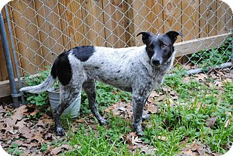 Australian Cattle Dog Mix Dog for adoption in Manchester, Connecticut - BLUE in Manchester ct