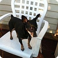 Adopt A Pet :: Hammy - Davie, FL