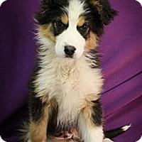 Adopt A Pet :: Balboa - Broomfield, CO