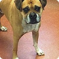Adopt A Pet :: Alfie - A sweet, friendly boy - Sunderland, MA
