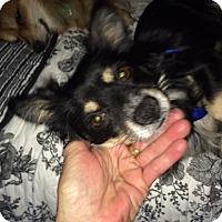 Adopt A Pet :: Christopher - Gilbert, AZ
