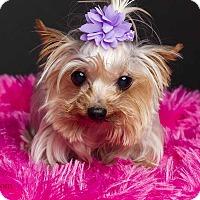 Adopt A Pet :: Pixie - Baton Rouge, LA