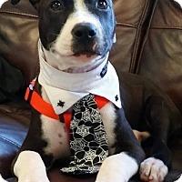 Adopt A Pet :: Maliki - Ft. Lauderdale, FL