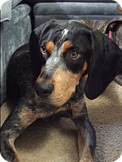 Bluetick Coonhound Dog for adoption in New Albany, Ohio - Copper
