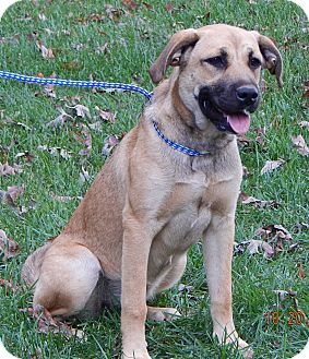 Anatolian Shepherd/Great Pyrenees Mix Puppy for adoption in Williamsport, Maryland - Lila (55 lb) Video!