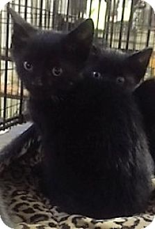 Bombay Kitten for adoption in Forest Hills, New York - Sky