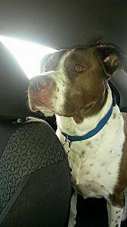 Pit Bull Terrier Dog for adoption in Bartlett, Tennessee - Taz