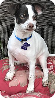 Fox Terrier (Smooth) Mix Puppy for adoption in La Verne, California - Harry
