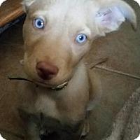 Adopt A Pet :: Khaleesi - Broken Arrow, OK